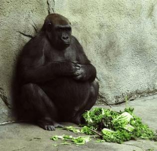 Pregnant momma gorilla